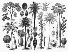 Arecaceae Arecaceae Wikipedia