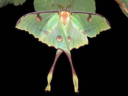Argema mimosae Argema mimosae m1 Argema mimosae African Luna moth attra Flickr