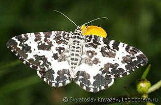 Argent and sable Rheumaptera hastata