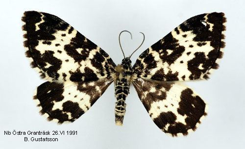 Argent and sable Rheumaptera hastata Insecta Lepidoptera Geometridae