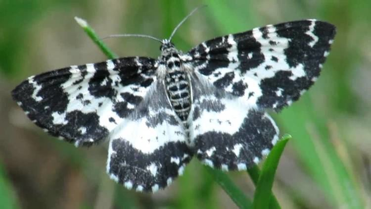 Argent and sable Rheumaptera hastata Argent and Sable YouTube