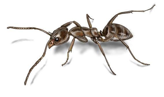Argentine ant - Alchetron, The Free Social Encyclopedia