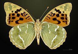 Argynnis Argynnis pandora Wikipedia