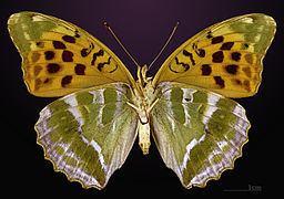 Argynnis Silverwashed fritillary Wikipedia