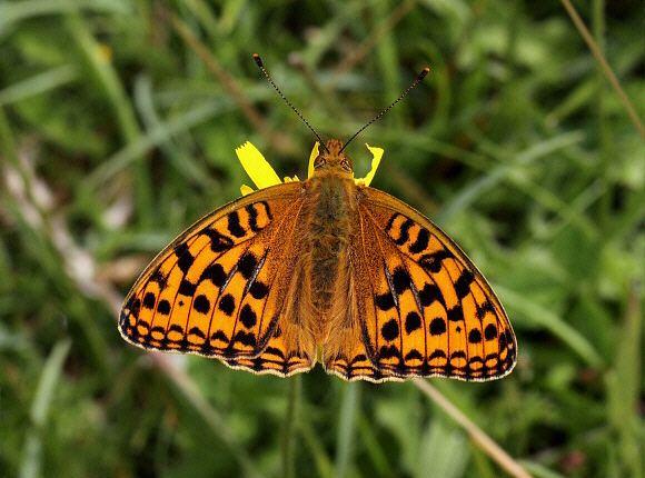 Argynnis Butterflies of Europe Argynnis adippe