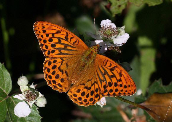 Argynnis wwwlearnaboutbutterfliescomArgynnis20paphia20