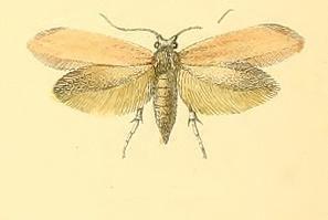 Argyresthia bergiella
