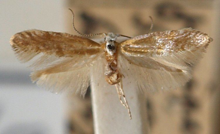 Argyresthia dilectella