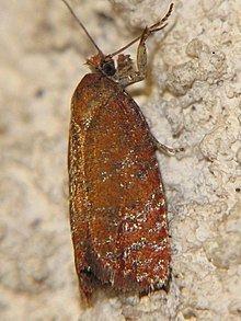 Argyroploce arbutella httpsuploadwikimediaorgwikipediacommonsthu