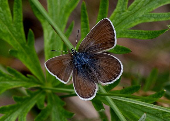 Aricia icarioides Butterflies of North America Icaricia icarioides