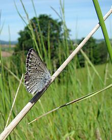 Aricia icarioides httpsuploadwikimediaorgwikipediacommonsthu