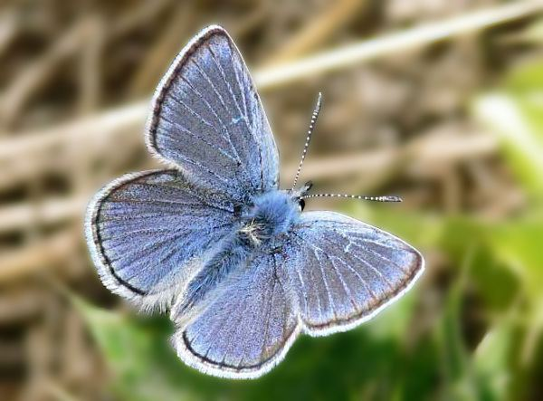 Aricia icarioides Mission Blue butterfly Aricia icarioides missionensis animals