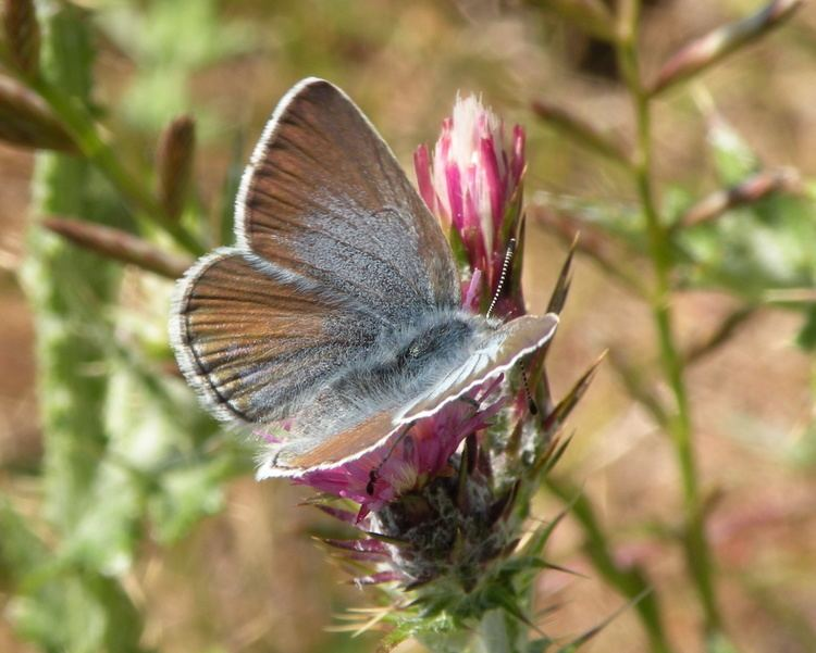 Aricia icarioides FileIcaricia icarioides missionensis 4jpg Wikimedia Commons