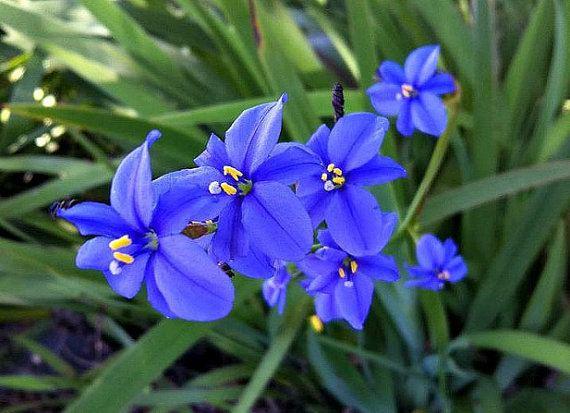 Aristea ecklonii Blue Stars Iris 25 seeds Aristea ecklonii vibrant by SmartSeeds