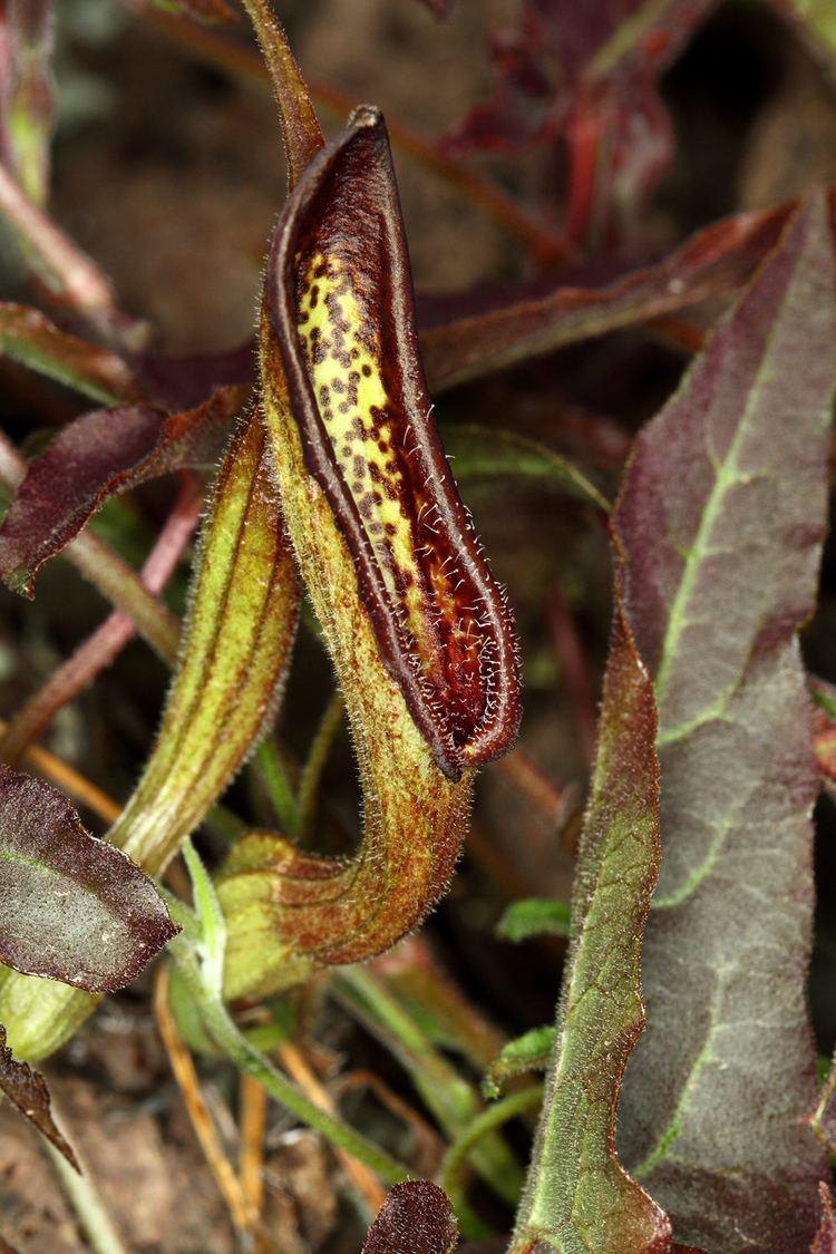 Aristolochia watsonii Vascular Plants of the Gila Wilderness Aristolochia watsonii