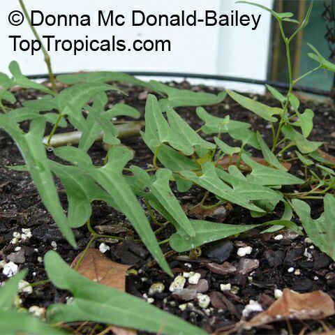 Aristolochia watsonii Aristolochia watsonii Watson39s Dutchman39s Pipe Southwestern