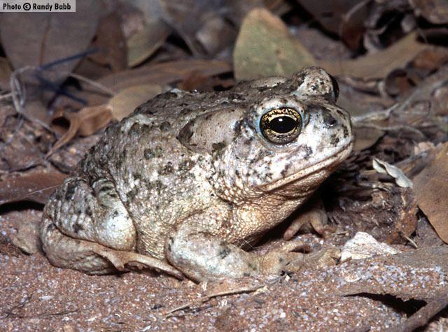 Arizona toad Arizona Toad Anaxyrus microscaphus Amphibians of Arizona