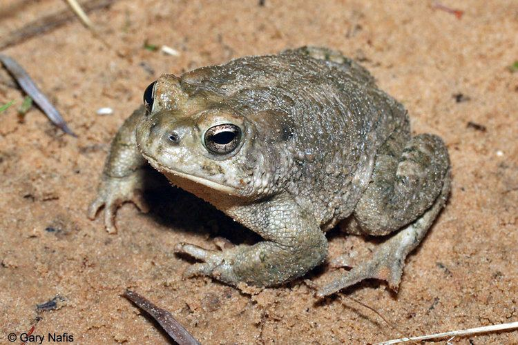 Arizona toad Anaxyrus microscaphus Arizona Toad