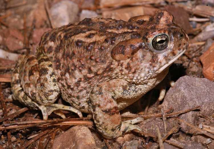 Arizona toad Arizona Toad Tucson Herpetological Society