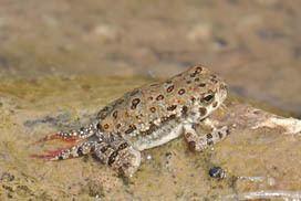 Arizona toad Arizona Toad