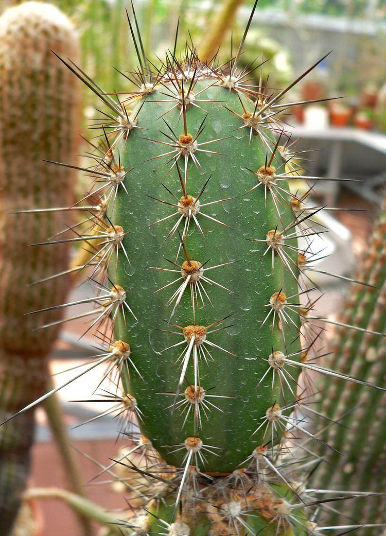 Armatocereus Armatocereus Wikipdia
