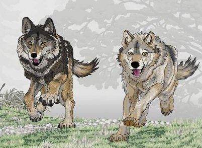 Armbruster's wolf panoptesvcomRPGsanimaliamammaliaeutheriacarn