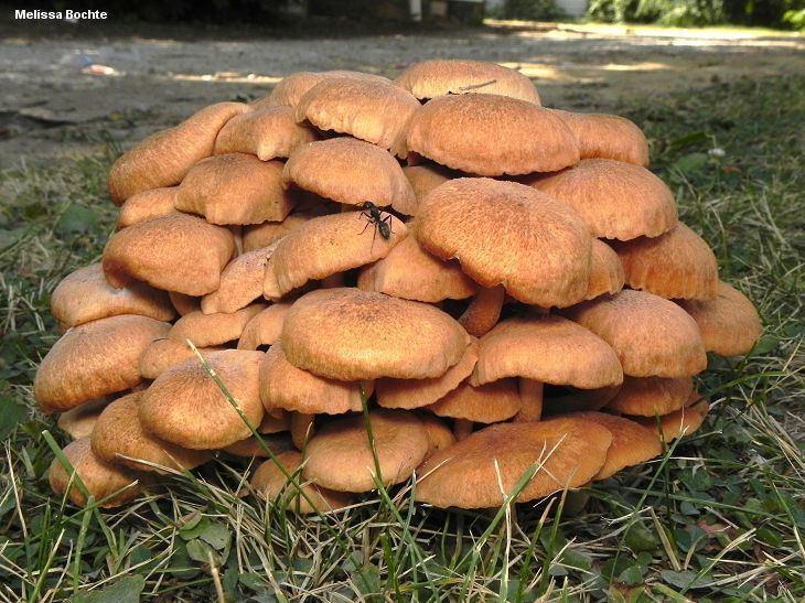 Armillaria Armillaria tabescens MushroomExpertCom