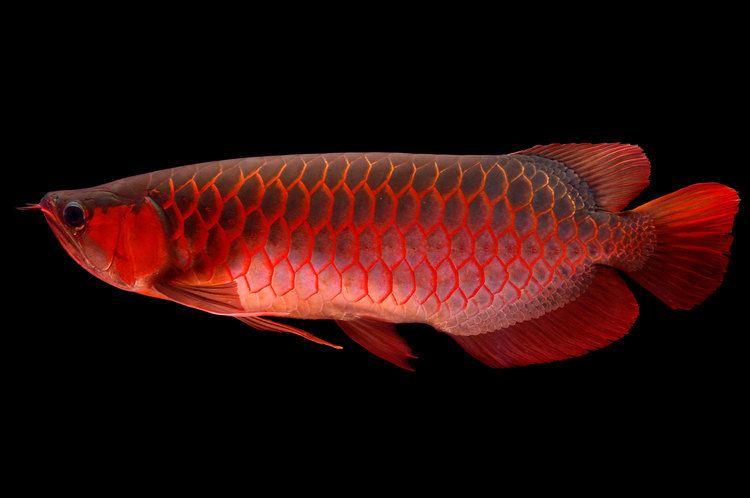 Arowana Meet the World39s Most Expensive Pet Fish