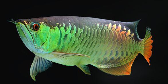 Arowana The Arowana Enigma ancient fish modern survival traits