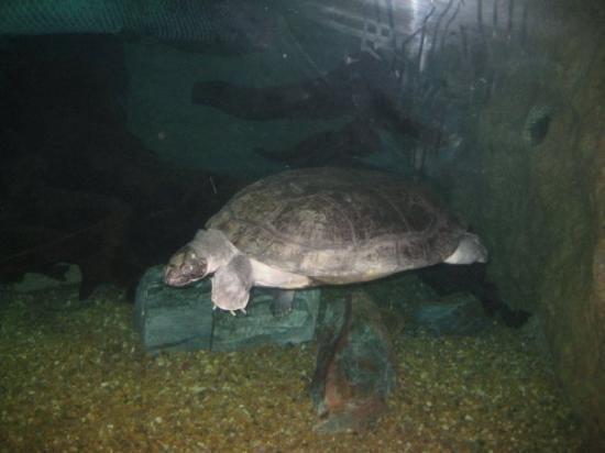 Arrau turtle Arrau Turtle Picture of Dallas World Aquarium Dallas TripAdvisor