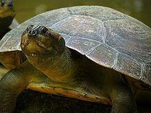 Arrau turtle httpsuploadwikimediaorgwikipediacommonsthu
