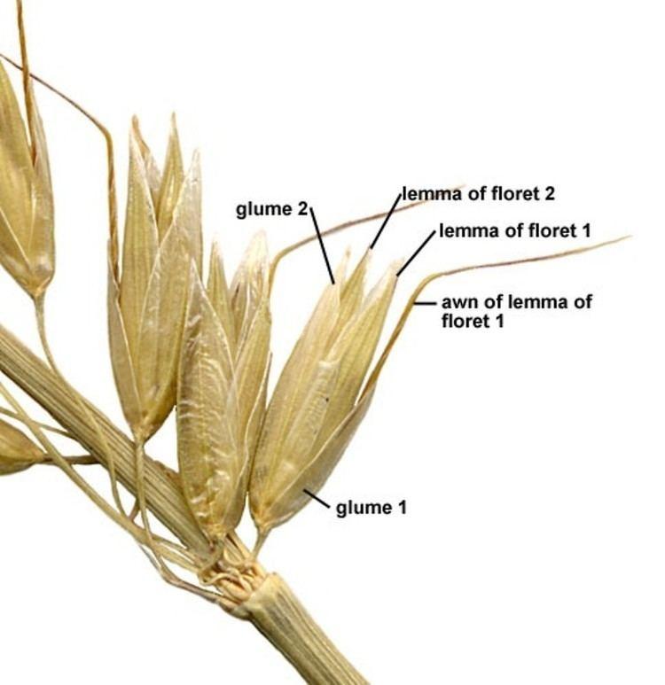 Arrhenatherum Arrhenatherum elatius tall oat grass Go Botany