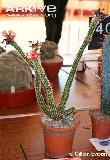 Arrojadoa Cactus photo Arrojadoa dinae G75694 ARKive