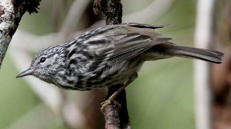 Arrowhead warbler Sunrise Birding LLC Jamaica Birding Tour Photo Highlights 2012