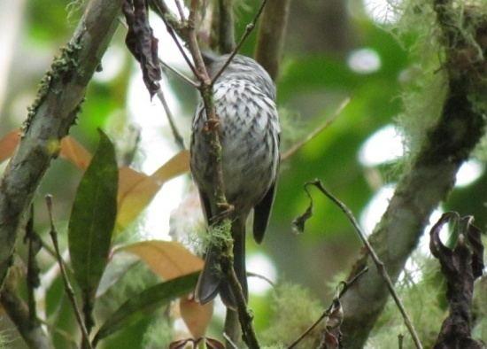 Arrowhead warbler Arrowhead Warbler BirdForum Opus
