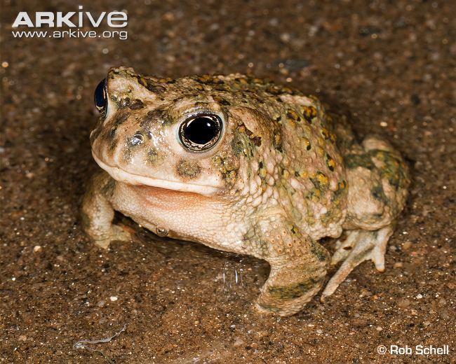 Arroyo toad Arroyo toad photo Anaxyrus californicus G120678 ARKive