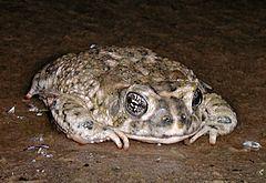 Arroyo toad Arroyo toad Wikipedia
