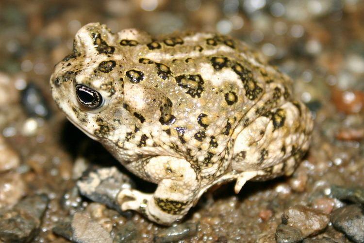 Arroyo toad CalPhotos Anaxyrus californicus Arroyo Toad