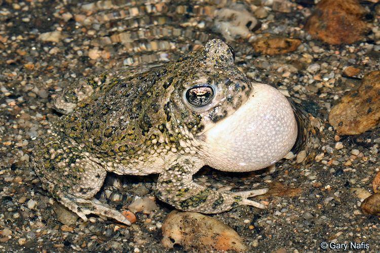 Arroyo toad wwwcaliforniaherpscomfrogsimagesbcalifornicus