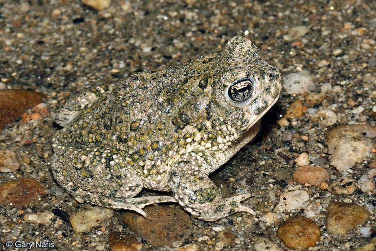 Arroyo toad Anaxyrus californicus Arroyo Toad