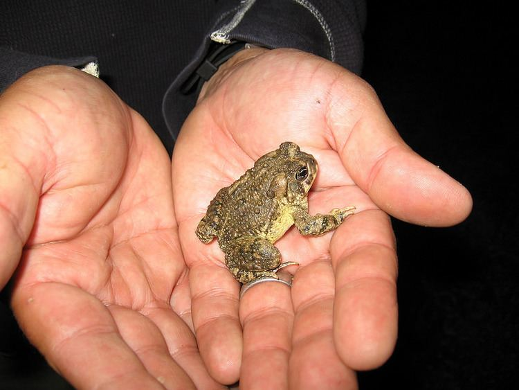Arroyo toad Arroyo toad remains classified as endangered