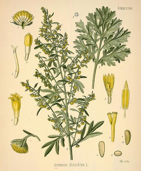 Artemisia absinthium A Modern Herbal Wormwoods