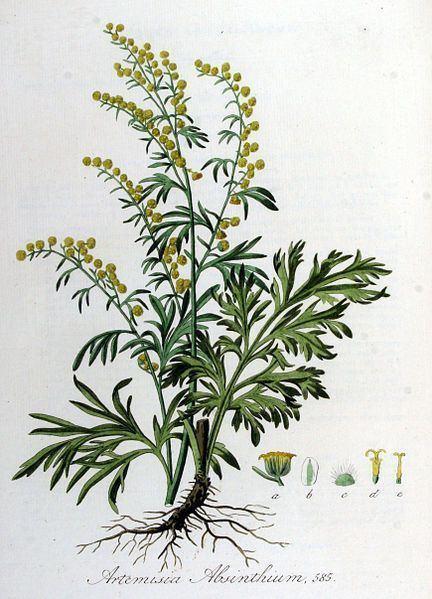 Artemisia absinthium 1000 ideas about Artemisia Absinthium on Pinterest Achillea
