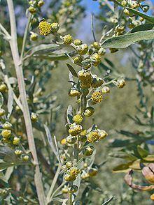 Artemisia absinthium httpsuploadwikimediaorgwikipediacommonsthu