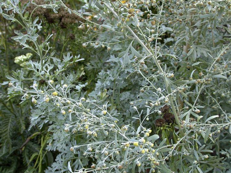 Artemisia (genus) - Alchetron, The Free Social Encyclopedia