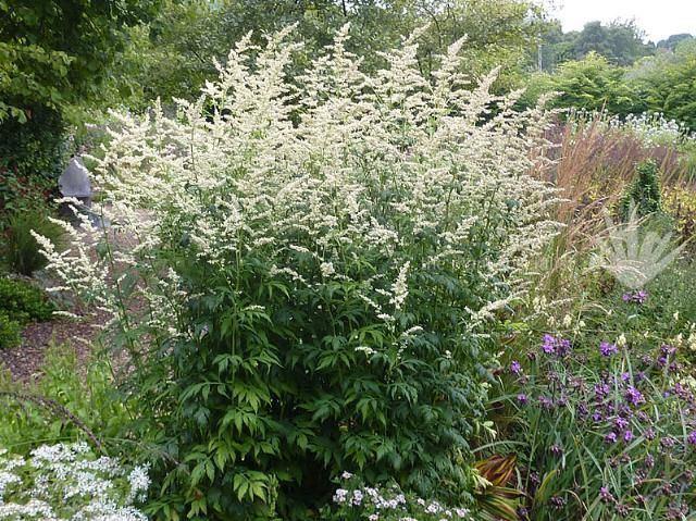 Artemisia lactiflora Pinterest The world39s catalog of ideas