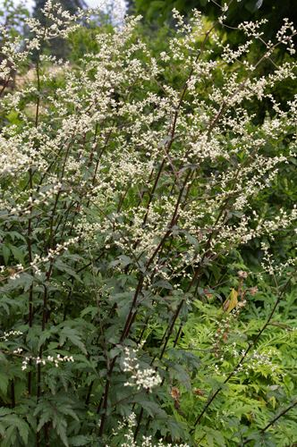 Artemisia lactiflora View Plant Great Plant Picks