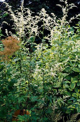 Artemisia lactiflora httpsappsrhsorgukplantselectorimagesdetail
