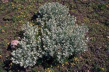 Artemisia rigida Artemisia rigida Wikipedia
