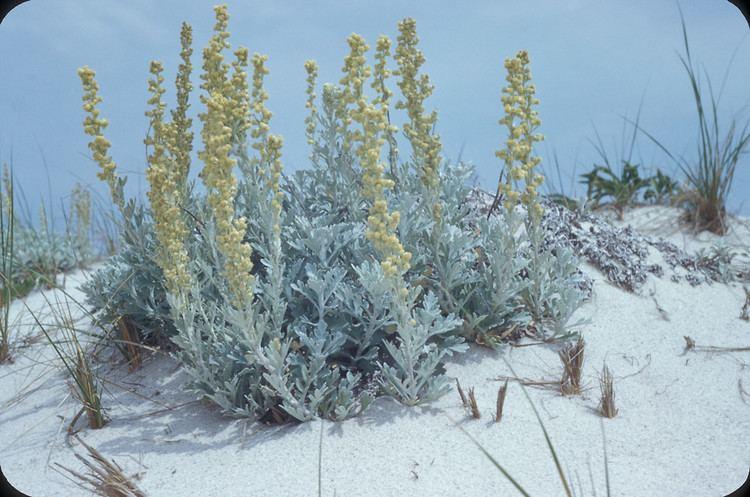 Artemisia stelleriana Artemisia stelleriana beach wormwood Go Botany
